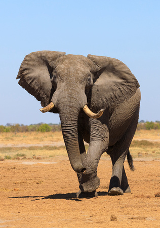 A Prime Bull Elephant Approaches a Waterhole