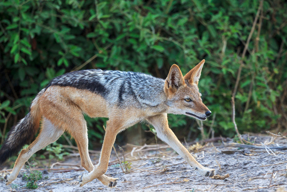 Black-backed Jackal Trotting