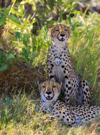 Mother Cheetah and Young One