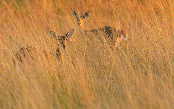 Southern Reedbucks in the Reeds