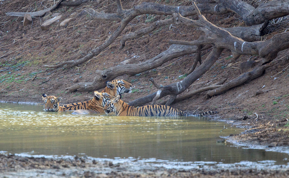 Tiger and cubs in the water